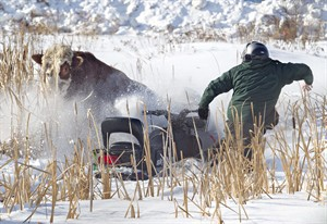 A bull charges a snowmobiler while trying to wrangle it, after the bull was let loose, to try and attract a calf that escaped from Edmonton Custom Packers in Edmonton, Alberta on Wedneday February 20, 2013. The cattle caper began when a calf on its way to a slaughtering plant escaped from a pen and decided to make a run for it.THE CANADIAN PRESS/Jason Franson