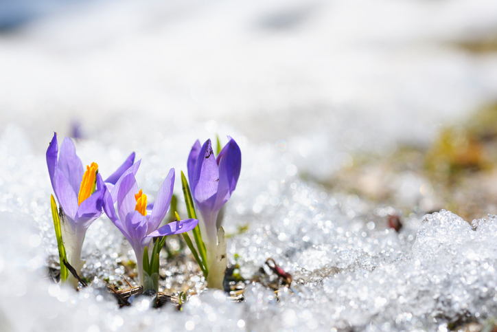 Crocus Weather And Then Some >> Early Spring CrocusCredit iStock